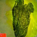Guido Bondioli :: Corn